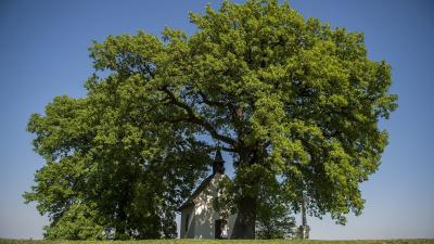 Bátaszék, 2016. április 21.A bátaszéki molyhos tölgyfa, amely 2016-os év európai fája lett, és a Szent Orbán kápolna Bátaszék közelében 2016. április 21-én. A Brüsszelben nyilvánosságra hozott eredmény szerint az idén februárban meghirdetett versenyen a