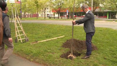 Szarvas Péter egy kocsányos tölgyet ültetett a Lencsési úton (Fotó: Kovács Dénes)