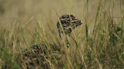 Kibújtak a tojásból az első túzokcsibék. Archív fotó: KMNPI