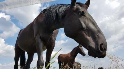 Visszatérhetnek szülővárosukba a mezőhegyesi lófajták. Fotó: Kovács Dénes