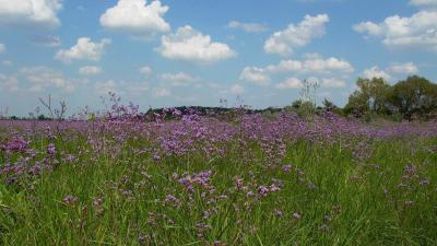 A Körös-Maros Nemzeti Parkban nagy kiterjedésű szikes puszták találhatóak, melyek nyár végére lila színbe öltöznek. A színt a magyar sóvirág virágzásának köszönhető. Fotó forrás: Körös-Maros Nemzeti Park Igazgatóság