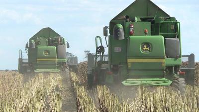 A megyében 78 ezer hektáron termelnek napraforgót, amelynek már több mint 50 százalékát betakarították. Idén Békés megyében 2,7 tonna a hektáronként a termésátlag, ami sok termelőnél mintegy 15-20 százalékos terméskiesést jelent az aszályos időjárás miatt