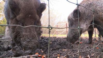A Körösvölgyi Látogatóközpont és Állatpark 2017. november 5-én, vasárnap tartotta szezonzáró rendezvényét, ahol a látogatók tököt faragtak, majd a megmaradt tökbelet látványetetésen adták oda vaddisznóknak. Archív fotó: Kovács Dénes