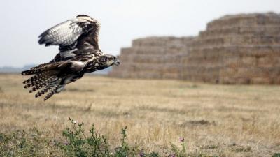 Kerecsensólyom (Falco cherrug) repül Fotó forrás: sokszinuvidek.24.hu / MTI