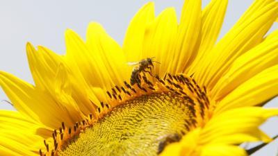 Virágport gyûjt egy méh egy virágzó napraforgón (Helianthus annuus) a Somogy megyei Szõkedencs határában 2018. június 21-én. MTI Fotó: Varga György