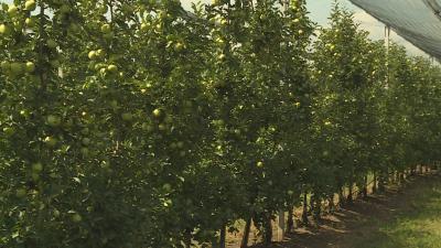 Rengeteg almát jósolnak a szakemberek. Fotó: Tóth Áron