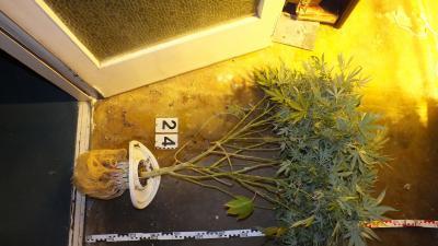 Az egyik tő vadkender, amit a gyulai lakásban találtak. Fotó: police.hu