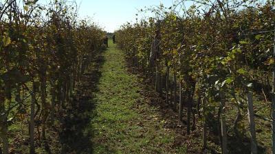 Csabagyongye_szőlőültetvény