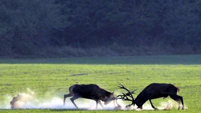 Barcs, 2018. szeptember 29. Verekedõ gímszarvas bikák (Cervus elaphus) szarvasbõgés idején a SEFAG Zrt. Barcsi Erdészetének területén 2018. szeptember 20-án.MTI Fotó: Kovács Attila