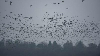 Vadludak repülnek Tatán, az Öreg-tó felett 2018. november 24-én. Az eurázsiai tundrák vidékérõl érkezõ vadludak évszázadokkal ezelõtt itt, a tatai Öreg-tó leeresztett medrében, a hajdan volt mocsárvidéken találtak pihenõhelyet maguknak hosszú vonulásuk so