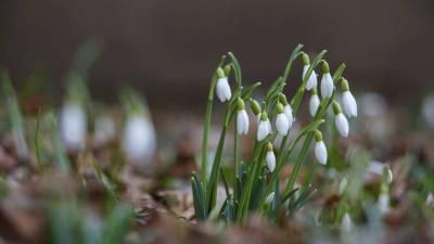 Hóvirág nyílik Nagykanizsán egy társasház udvarán 2019. február 3-án. MTI/Varga György