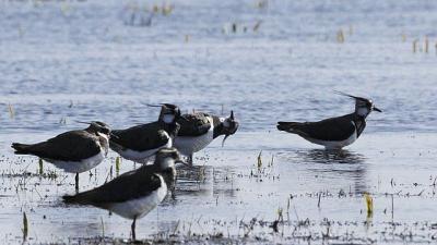 Az első bíbicek már január végén visszatértek költőhelyeikre, de számuk folyamatosan növekszik a Fehér-tó környékén. Fotó forrás: kmnp.hu / Marik Pál