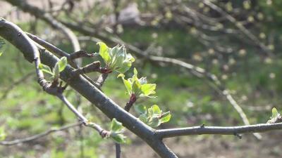 A tartós fagyok hiányában átteleltek a gyümölcsfák kártevői, amelyek hatalmas pusztítást okozhatnak a szakemberek szerint. Fotó: Kovács Dénes