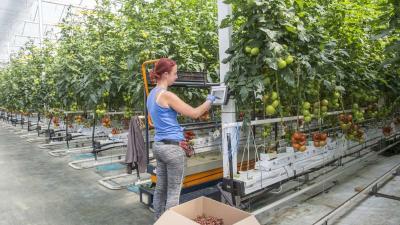 Paradicsomot szed egy dolgozó az Árpád-Agrár Zrt. szegvári üvegházában 2019. április 11-én. Ezen a napon egy új palántanevelõ üvegházat adott át a cég. MTI/Rosta Tibor