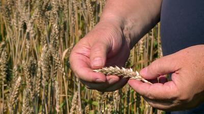 Indul az aratás, kevesebb hozam lesz például búzából. Fotó: 7.TV/Kovács Dénes