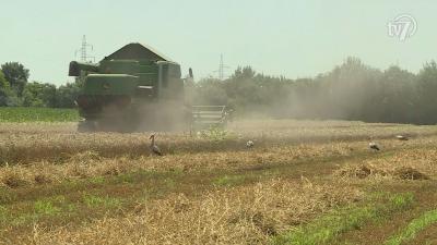 A fehér gólyák az aratáson is megjelennek Fotó: Kugyelka Attila
