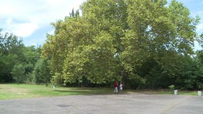 Gerlai nagy platán (fotó: behir.hu)