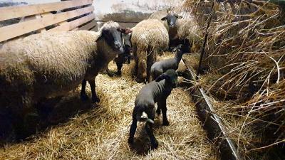 Racka és cigája bárányok születtek a Körös-Maros Nemzeti Park kardoskúti telephelyén. Fotó: 7.TV/Kovács Dénes