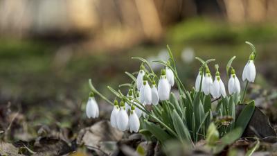 Virágzó hóvirág Gádoroson (MTI/Rosta Tibor)