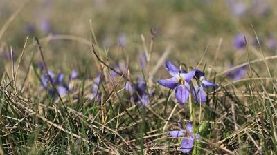 csuklyás ibolya Fotó forrás: Balogh Gábor / kmnp.nemzetipark.gov.hu