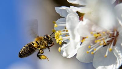 Virágport gyűjtő méh egy virágzó körtefán a tavaszi melegben (Illusztráció - MTI Fotó)