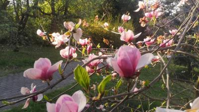 Virágba borult a Szarvasi Arborétum magnólia fája. Forrás: Facebook/Szarvasi Arborétum