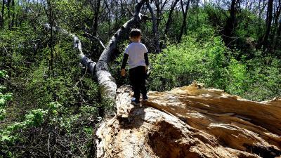 Egy éve dőlt ki a Bandika-fa egyik ága – Fotó: behir.hu/Such Tamás