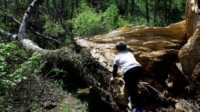 Kidőlt a Bandika-fa egyik ága