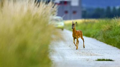 Őzbak az úton (fotó - Kovács András, Hazai Vadfotós Egylet)