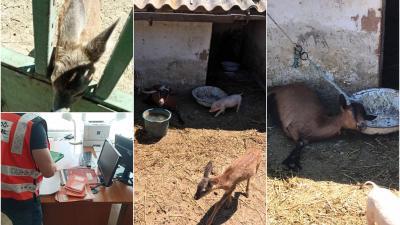 Őzgidákat és vaddisznó malacot mentettek a NAV-osok. Forrás: NAV