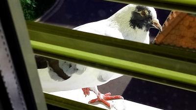 Egy galamb megállt a kórház ablakpárkányán, hogy tűnődjön a létezésről