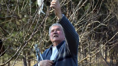 Szelekovszky László almafát metsz – Fotó: behir.hu/Such Tamás