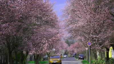 Virágzik a vérszilva a Degré utcán – Fotó: behir.hu/Such Tamás