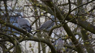 Örvös galambok a Lencsési lakótelepen – Fotó: behir.hu/Such Tamás