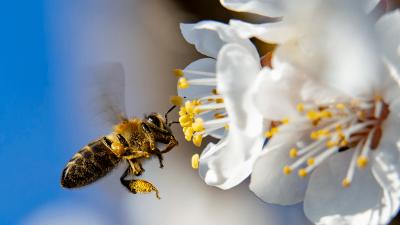 Méh gyűjt virágport. Archív fotó: MTI/Varga György