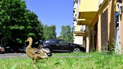Kacsák a Lencsésin – Fotó: behir.hu/Such Tamás