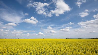 Virágzik a repce a Bács-Kiskun megyei Bácsbokod közelében 2021. április 30-án. MTI/Mohai Balázs
