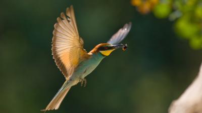 Őfelsége, a gyurgyalag - Fotó: Hortobágyi Madárpark